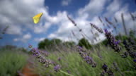Clouded yellow butterfly on lavender video