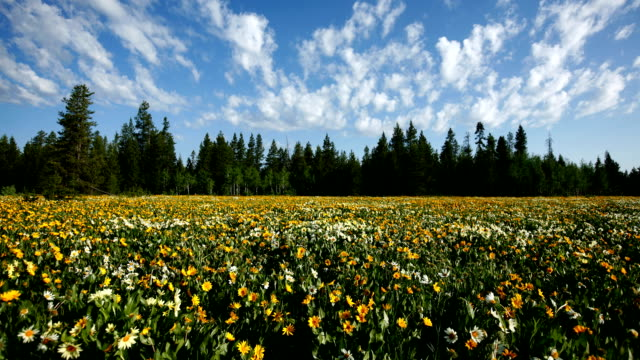 Clouds move over wildflowers, time lapse video