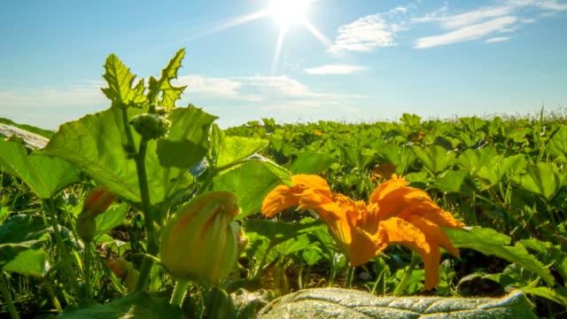 T/L Cloudscape Over Field Of Pumpkins video