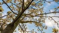 T/L 8K Cloudscape over magnolia tree video