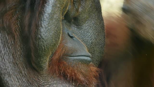 Clouseup on face orangutan. video