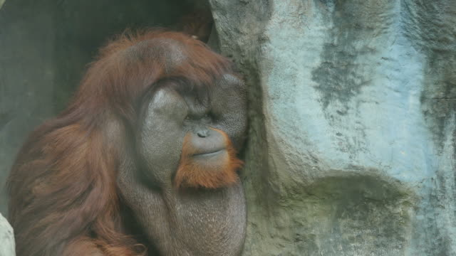Clouseup on orangutan. video