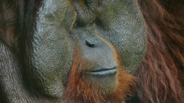 Clouse-up on orangutan. video