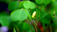 Clover flower growing in time lapse video
