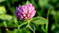clover flower with large drops of dew in the morning sun macro video