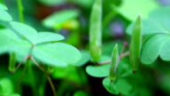 Clover growing in time lapse video