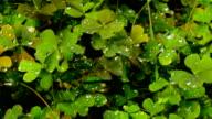 clover petals with dew video