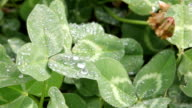 Clovers and water drops video