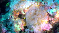 Clown Anemonefish and Sea Anemone video