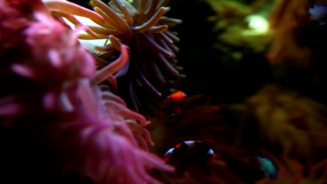 Clown Fish and Coral Anemone Close Up video