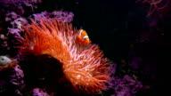 Clown Fish Anemone video