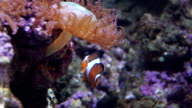 Clown fish. Clown fish playing in a living coral video