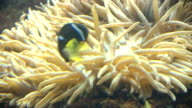 Clown Fish hiding in Anemone video