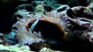 Clown fish in Aquarium video