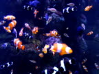 Clown Fish & Others video