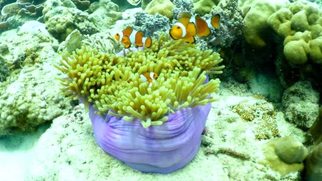 clown fish under sea water video
