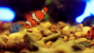 Clown fish video
