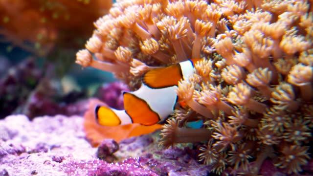 Clown fish video