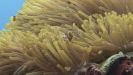 Clownfish and Anemone video