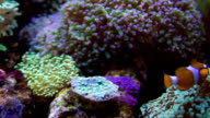 Clownfish and anemones video
