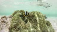 Clownfish and sea anemone video