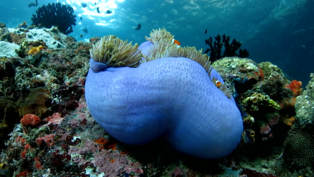 Clownfish hiding in sea anemone underwater video