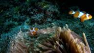 Clownfish swimming happy underwater video