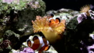 clownfish video