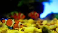 HD: Clownfish video