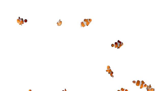 Clownfish video