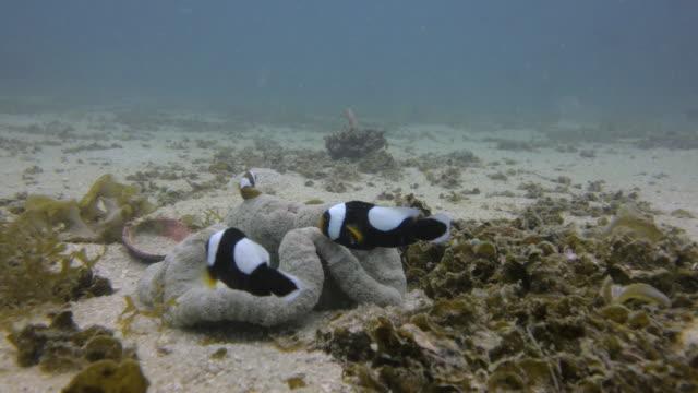 clownfish ( Anemone-fish ) video