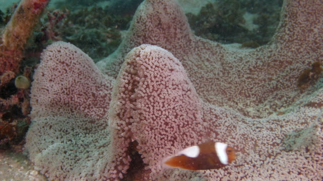 clownfish ( Anemone-fish ) video