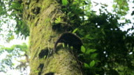Coati descending from the tree video