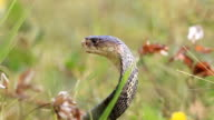 Cobra in aggressive posture video