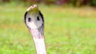 Cobra video
