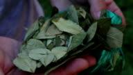 Coca leaves video