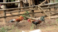 Cock Fight video