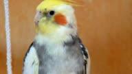 Cockatiels video