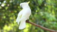 Cockatoo birds video