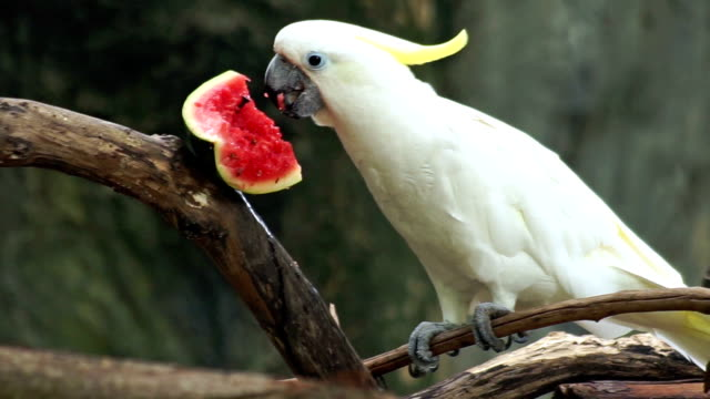 Cockatoo Eating Water melon video