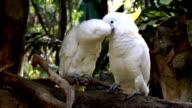 Cockatoos kissing video