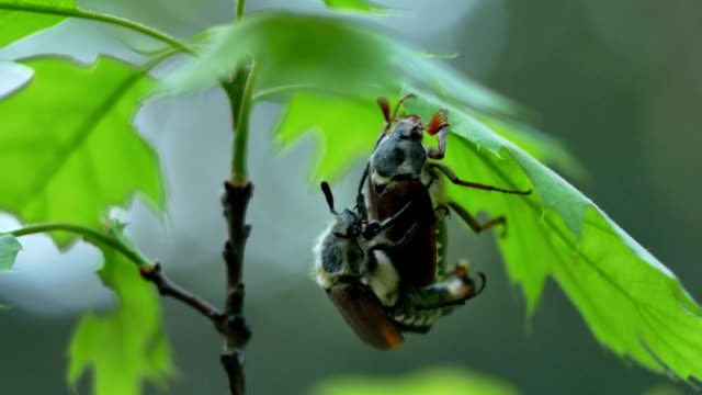 Cockchafer (Melolontha melolontha) reproduction on the green oak leaf 4k video
