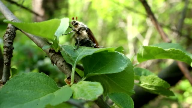 Cockchafer (May-bug) video