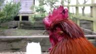 Cockerel head in close up video