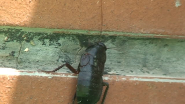 Cockroach video