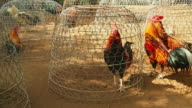Cocks fighting in the steel cages video
