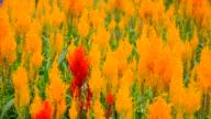 Cockscomb flower video