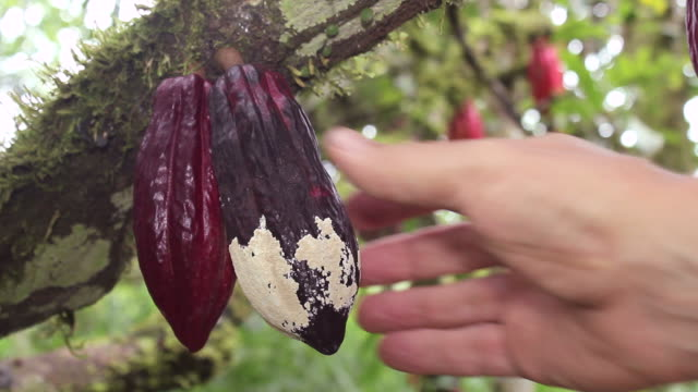 Cocoa plant suffering from Frosty Pod Rot video