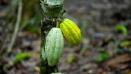 Cocoa plantation video