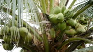 Coconut at Tree video